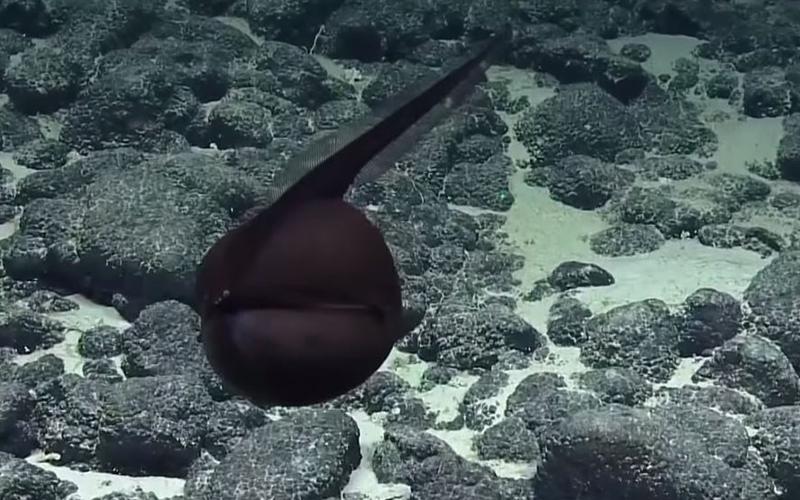 超獵奇深海生物!「膨脹成黑色氣球飄游」突然張嘴詭異變扁身!網驚呆:是異形吧