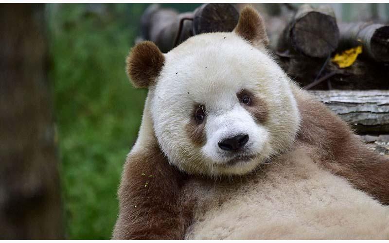 牠是世界上唯一的棕色熊貓,也因毛色跟大家不同而遭媽媽及同伴遺棄欺負,但現在牠可是過得很幸福呢!