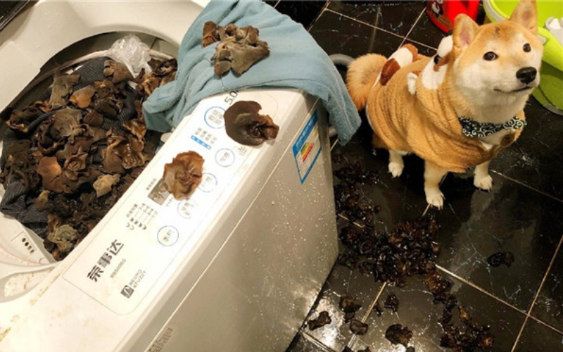 沒有白養!孝順柴「幫煮晚餐」主人驚見「洗衣機海量木耳」超崩潰!