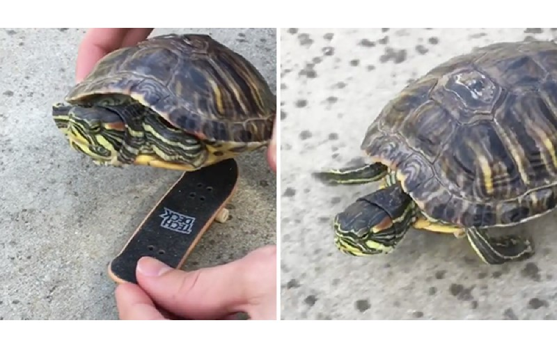 「這樣走路比較快!」主人給小烏龜裝滑板 牠一上去變「高速火箭」暴衝