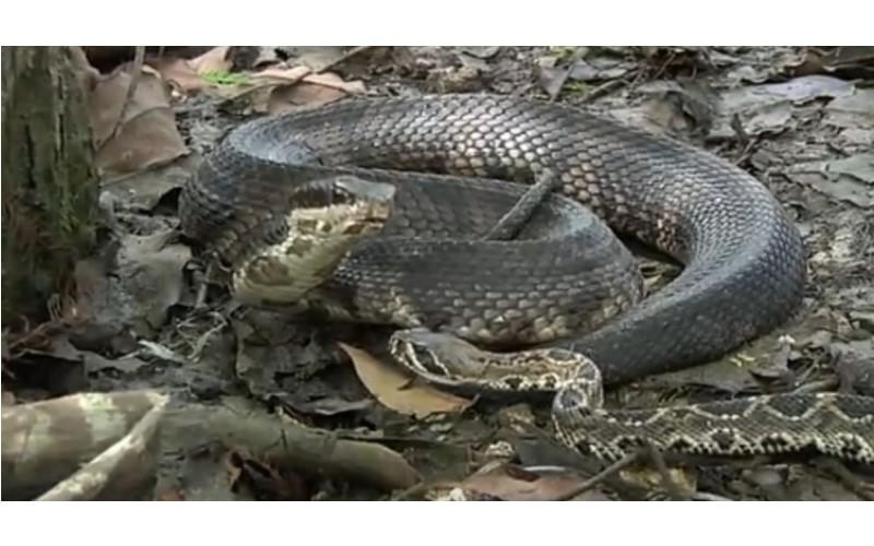 超驚悚!「眼鏡蛇王 VS. 響尾蛇」上一秒還糾纏在一起...下一秒被活活生吞!(影)