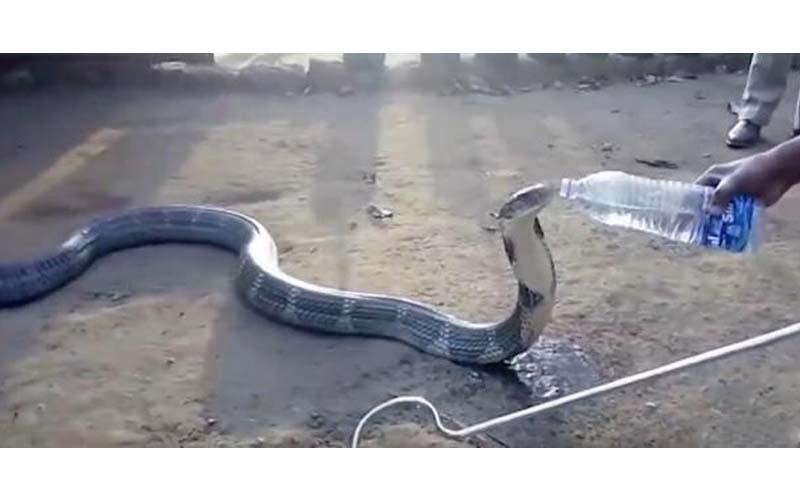 一條3.6公尺長劇毒眼鏡蛇王到村莊找人類討水喝,餵水給牠喝的模樣突然覺得好萌喔!