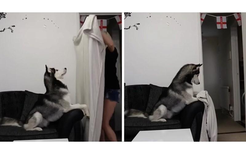 女主人用毛巾表演魔術「瞬間消失」狗狗大腦瞬間當機:人跑去哪了?