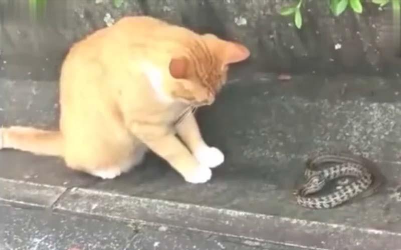 路邊看到一隻橘貓在玩弄蛇,這才知道原來「貓的反應速度是蛇的七倍」