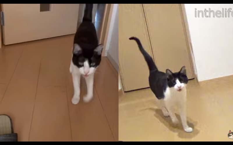 六年過去了,貓咪迎接主人的方式都沒變「你你.....回...來來....啦~~~」邊走邊抖音!