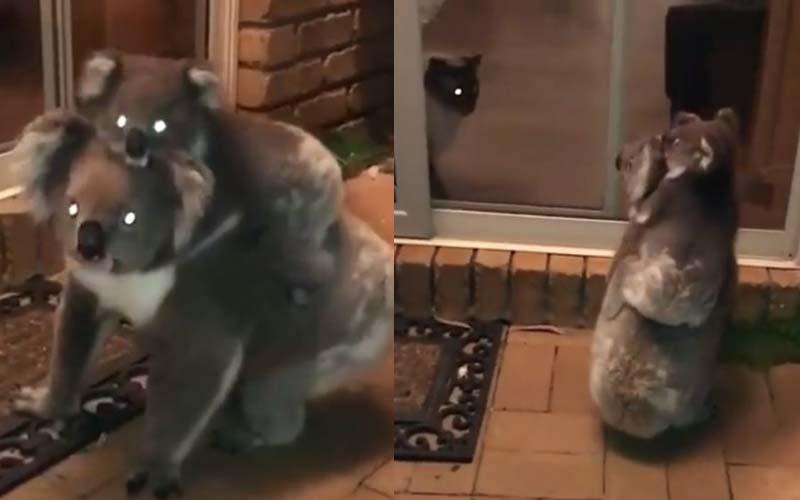 無尾熊母子在人類家後院閒晃,看到屋裡的喵星人愣了一下!最後看來是溝通成功!