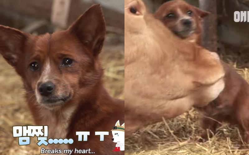 狗狗聽到母牛要被賣掉「心碎落淚」一路狂追衝對方新家:請別拆散我們!